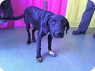 Labrador Retriever Mix Dog for adoption in West Los Angeles, California - Abby