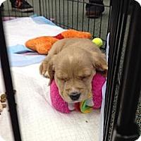 Adopt A Pet :: Caramel ~ Adoption Pending - Youngstown, OH