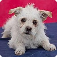 Adopt A Pet :: Scooter - Tumwater, WA