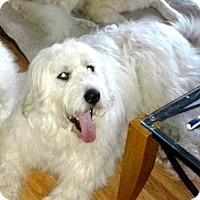 Adopt A Pet :: Vinnie ADOPTION PENDING - Bloomington, IL