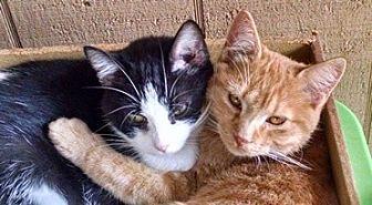 Domestic Shorthair Cat for adoption in Columbus, Ohio - Texie