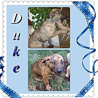 Adopt A Pet :: Duke meet me 11/6 - East Hartford, CT