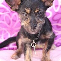 Adopt A Pet :: Shirley Temple - Phoenix, AZ