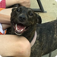 Plott Hound/Pit Bull Terrier Mix Dog for adoption in Youngstown, Ohio - Jina