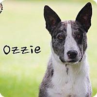 Adopt A Pet :: Ozzie - Joliet, IL