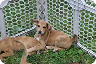 Labrador Retriever/Australian Shepherd Mix Puppy for adoption in CHESTERFIELD, Michigan - Lara
