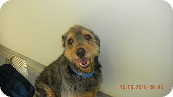 Airedale Terrier Mix Dog for adoption in Sandusky, Ohio - SCOUT