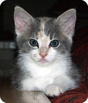 Domestic Shorthair Kitten for adoption in Westfield, Massachusetts - kitten