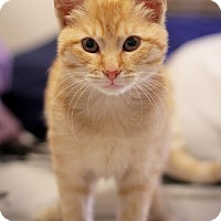 Adopt A Pet :: Simba - Los Angeles, CA