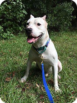 American Bulldog Mix Dog for adoption in Okatie, South Carolina - TRIPP