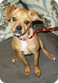 Pug/Chihuahua Mix Puppy for adoption in Eastpoint, Florida - Bruno