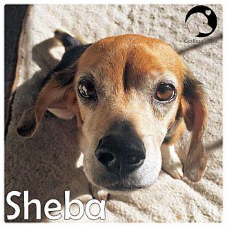 Beagle Dog for adoption in Pittsburgh, Pennsylvania - Sheba
