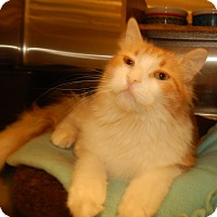 Adopt A Pet :: TIDDLYWINK - SNUGGLY & PLAYFUL - Plano, TX