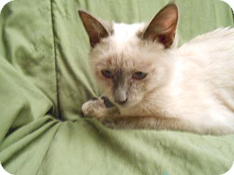 Siamese Kitten for adoption in Fountain Hills, Arizona - SUSHI