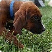 Adopt A Pet :: Ruthie - Brattleboro, VT