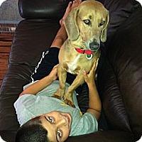 Adopt A Pet :: COME MEET Chief - Westport, CT