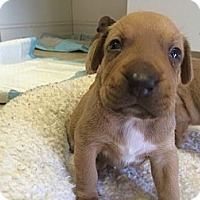 Adopt A Pet :: Penny's Boys - Hollywood, FL