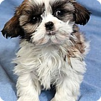 Adopt A Pet :: Marvin Shih Tzu - St. Louis, MO
