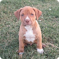 Adopt A Pet :: Brooklyn - Copperas Cove, TX