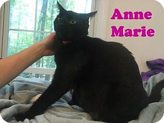 Domestic Shorthair Cat for adoption in East Stroudsburg, Pennsylvania - Anne Marie