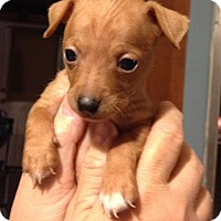 Adopt A Pet :: Ian - Gilbert, AZ