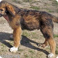 Adopt A Pet :: Roy in NH - new pup! - Beacon, NY