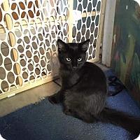 Domestic Shorthair Kitten for adoption in Scottsdale, Arizona - Chili