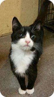 Domestic Shorthair Kitten for adoption in Morganton, North Carolina - Gimli