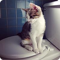 Adopt A Pet :: Furby - St. Louis, MO