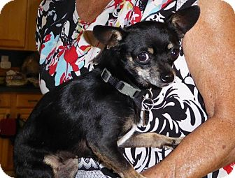 Chihuahua Mix Dog for adoption in San Diego, California - Jessie