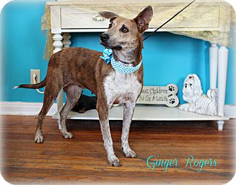 Australian Cattle Dog/Terrier (Unknown Type, Medium) Mix Dog for adoption in Clarksville, Tennessee - Ginger Rogers  **SPONSORED**