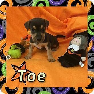 Basset Hound/Rottweiler Mix Puppy for adoption in Houston, Texas - Toe