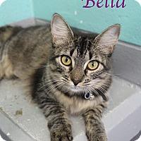 Domestic Mediumhair Kitten for adoption in Bradenton, Florida - Bella