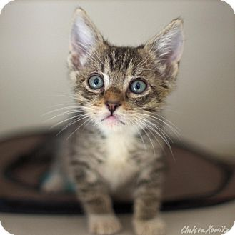 Colorpoint Shorthair Kitten for adoption in Canyon Country, California - Tobias
