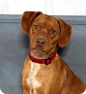 Hound (Unknown Type)/Labrador Retriever Mix Dog for adoption in Grafton, Wisconsin - Charly aka Frodo