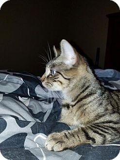 Domestic Shorthair Kitten for adoption in Wilmore, Kentucky - Jesamine