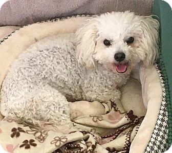 Poodle (Miniature) Mix Dog for adoption in Renton, Washington - CeCe