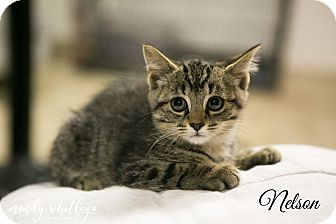 Domestic Shorthair Kitten for adoption in Columbia, Tennessee - Nelson