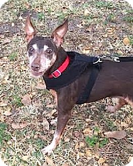 Miniature Pinscher Mix Dog for adoption in Boca Raton, Florida - Dixie