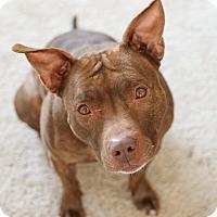 Adopt A Pet :: Gwen - Grand Rapids, MI