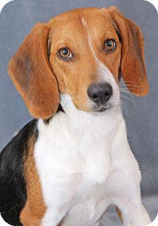 Beagle Mix Dog for adoption in Encinitas, California - Thay
