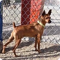 Adopt A Pet :: Red - Sierra Vista, AZ