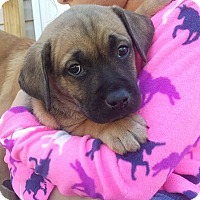 Adopt A Pet :: Falcon--arriving soon - Chichester, NH