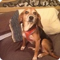 Adopt A Pet :: Susie - Ashburn, VA