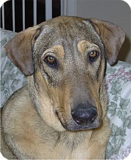 Collie/Bluetick Coonhound Mix Dog for adoption in Golden Valley, Arizona - Cody
