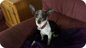 Fox Terrier (Toy)/Rat Terrier Mix Dog for adoption in Seattle, Washington - Jack