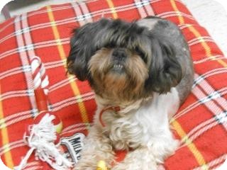 Shih Tzu Dog for adoption in Hazard, Kentucky - Sammy