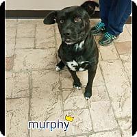 Adopt A Pet :: Murphy - Oviedo, FL