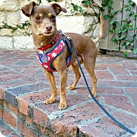 Adopt A Pet :: Browney is very devoted - Redondo Beach, CA