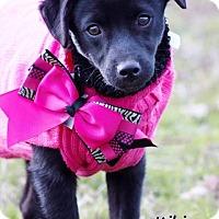 Adopt A Pet :: Kiki meet me 1/22 - Manchester, CT